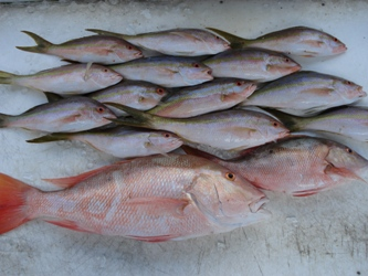 Calm water fishing in Key West.  Picture of snappers caught in calm water in the backcountry of Key West.