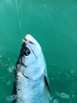 The tarpon have arrived in the key west harbor.
